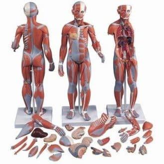 Bien choisir un modèle anatomique